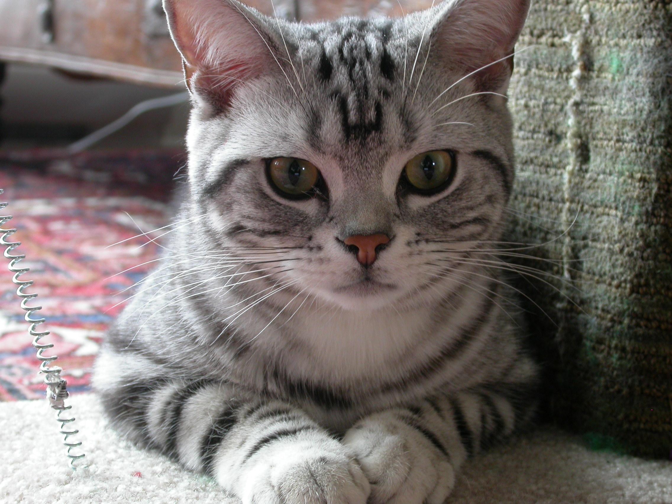 Породы кошек  CATSкаталог Фото пород кошек Клубы кошек